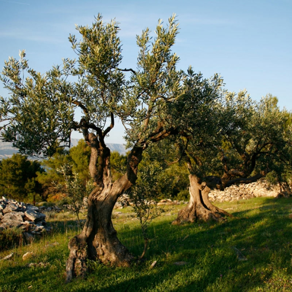 Istria - Home of World's Finest Olive Oils
